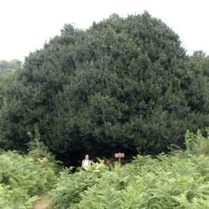 Idea regalo Escursione alla scoperta degli agrifogli giganti – Madonie, Sicilia