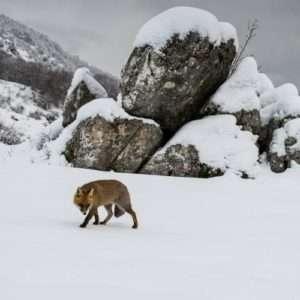 Idea regalo Escursione invernale alla ricerca degli animali selvatici – Abruzzo